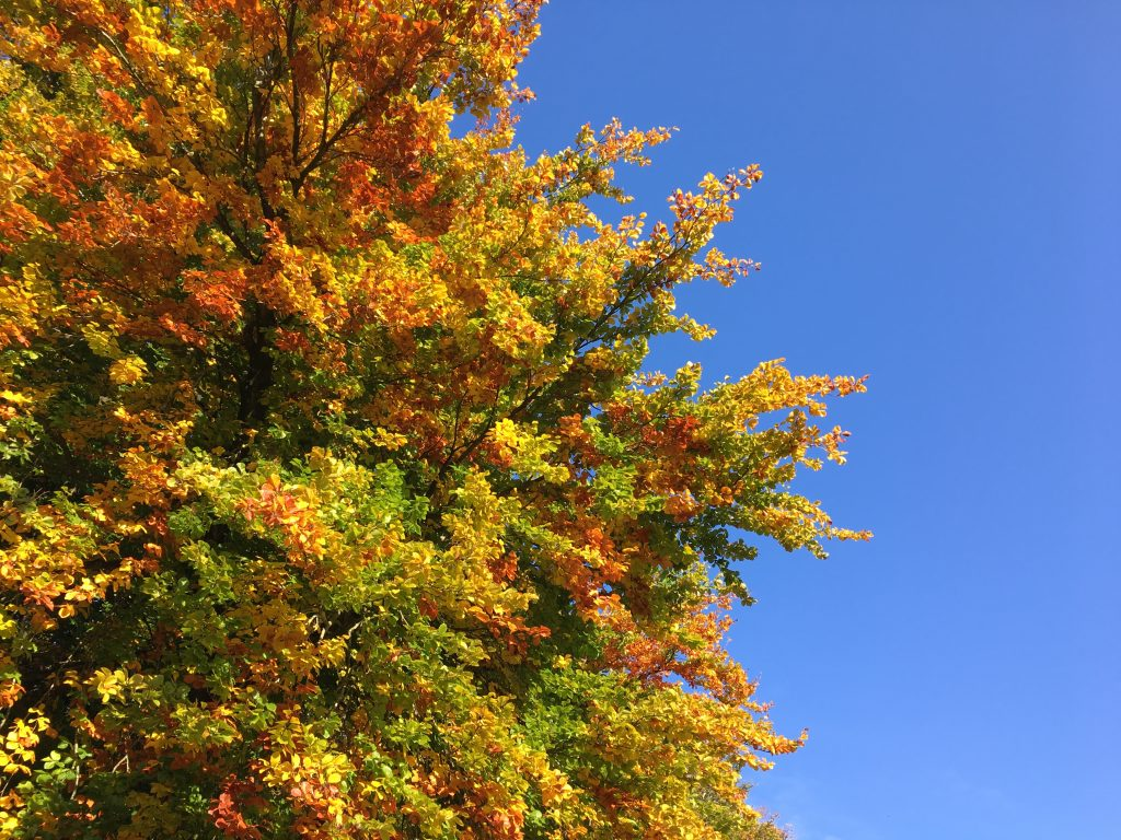 Orange, red and Yellow Leaves on Tree on Blue Sky
